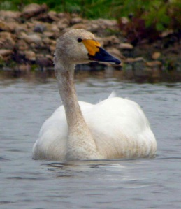 First Berwick's swan spotted in Gloucestershire. Credit: MJ McGill