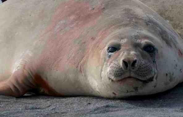 elephant-seal-photo-alison-davies-cropped