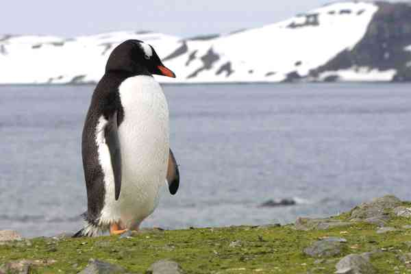 gentoo-penguin-photo-alison-davies-cropped