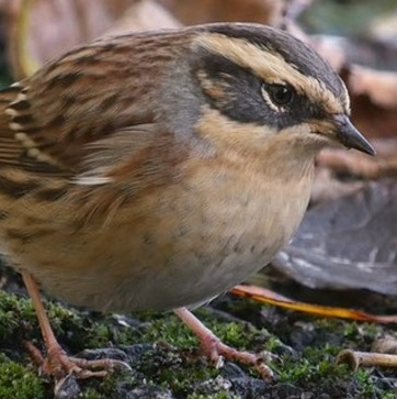 siberian-accentor-2-picture-courtesy-paul-hackett-cropped