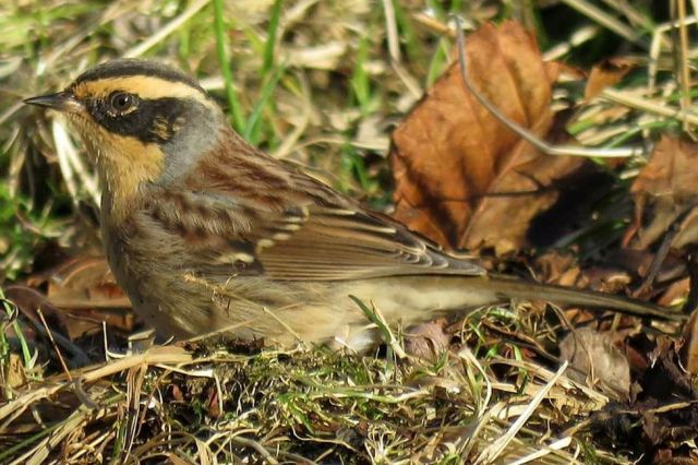 siberian-accentor-2-picture-courtesy-sean-cole Has the weather played a role in bringing unusual birds to Britain during 2016? — Official blog of the Met Office news team