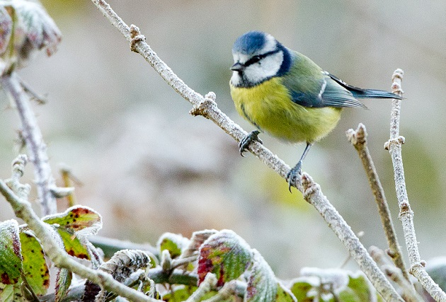 Blue tit in the frost