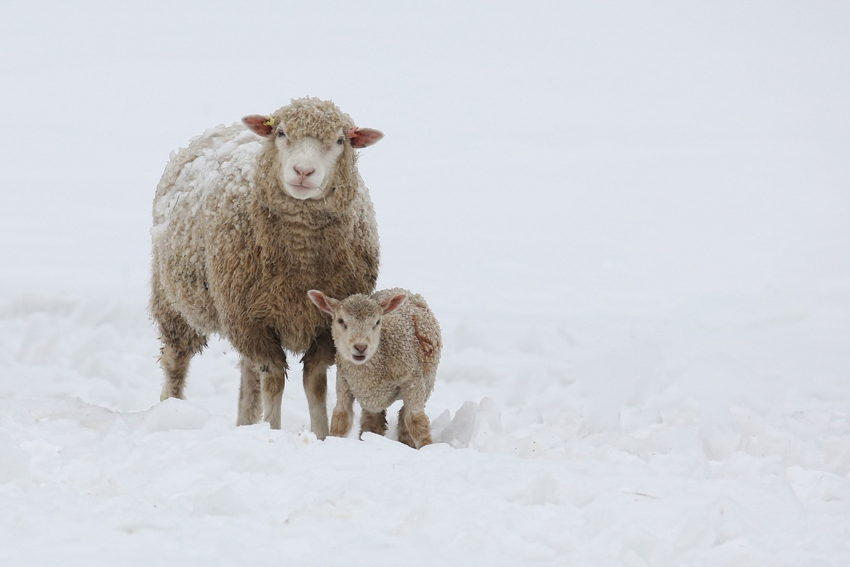 Ewe in snow with lamb